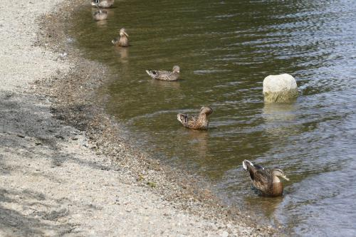 Six ducks lined up in a lake